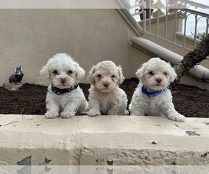 Maltese-Maltipoo Mix Puppy for sale in CARLSBAD, CA, USA