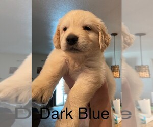 Golden Retriever Puppy for Sale in CORONA, California USA