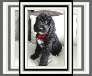Sheepadoodle Puppy for sale in RIALTO, CA, USA