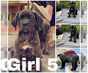 Mastiff Puppy for sale in BALLSTON, NY, USA