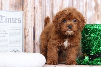 View Ad Golden Retriever Poodle Toy Mix Puppy For Sale Maryland