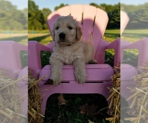 Goldendoodle Puppy for sale in PULASKI, PA, USA