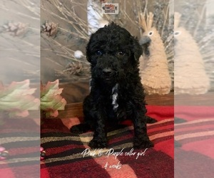 Saint Berdoodle Puppy for sale in PAW PAW, MI, USA