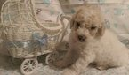 Golden Retriever-Poodle (Miniature) Mix Puppy For Sale in MANOR, TX