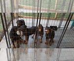 Small #78 Rottweiler