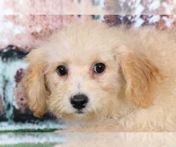 Medium Photo #1 Poochon Puppy For Sale in BEL AIR, MD, USA