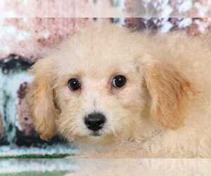 Poochon Puppy for sale in BEL AIR, MD, USA