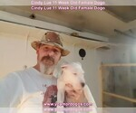 Small Photo #128 Dogo Argentino Puppy For Sale in PINEVILLE, MO, USA