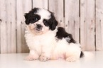 Mickey Male Lhasa Poo
