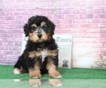 Shaggy Cutest Tri Male Mini Bernedoodle Puppy