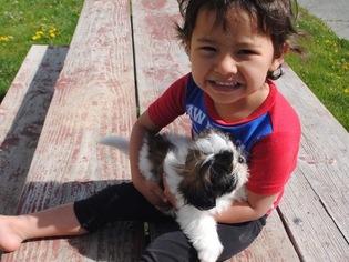 Shih Tzu Puppy For Sale in EPHRATA, WA