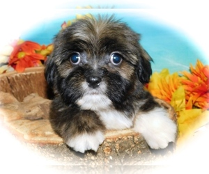 ShihPoo-Yorkshire Terrier Mix Puppy for Sale in HAMMOND, Indiana USA