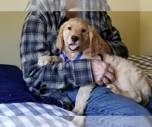 Golden Retriever Puppy for Sale in SEATTLE, Washington USA