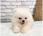 Small #9 Pomeranian