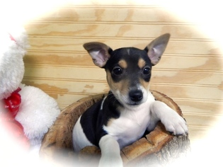 Rat Terrier Puppies   Great with Kids  Vet Checked
