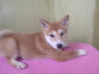 Shiba Inu Puppy For Sale in PATERSON, NJ, USA