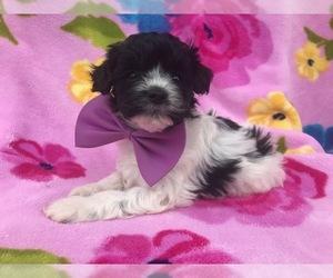Poovanese Dog for Adoption in HONEY BROOK, Pennsylvania USA