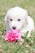 Golden Retriever Puppy For Sale in PLYMOUTH, Ohio,