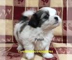 Puppy 2 Mal-Shi-Shih Tzu Mix