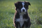 Miniature Australian Shepherd Puppy For Sale in DECKER PR, TX, USA