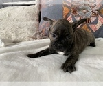 Small #13 French Bulldog
