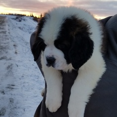 Saint Bernard Puppy For Sale in DELTA JUNCTION, AK, USA