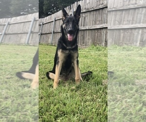 German Shepherd Dog Puppy for Sale in NEW ORLEANS, Louisiana USA