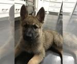 Small #41 German Shepherd Dog