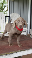 Labrador Retriever Puppy For Sale in DUNDEE, OH