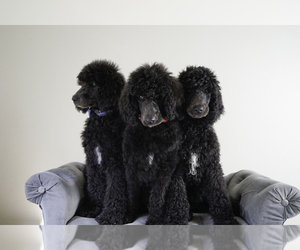 Poodle (Standard) Puppy for Sale in ASHLAND CITY, Tennessee USA