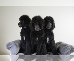 Poodle (Standard) Puppy For Sale in ASHLAND CITY, TN, USA
