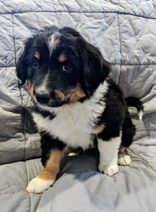 English Shepherd Puppy For Sale in CLINTON, MT, USA