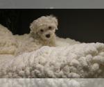 Puppy 1 Poodle (Miniature)-Yorkie-Poo Mix