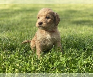 Irish Doodle Puppy for Sale in COLONIAL HEIGHTS, Tennessee USA