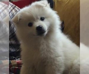 American Eskimo Dog Puppy for Sale in SHINGLE SPRINGS, California USA