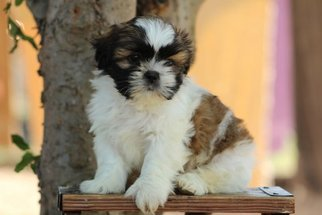 Shih Tzu Puppy For Sale in SCURRY, TX, USA