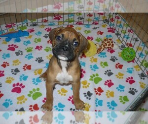 Boxer Puppy for sale in ORO VALLEY, AZ, USA