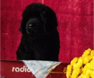 Newfoundland Puppy for Sale in CLARE, Michigan USA