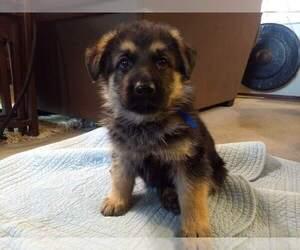 German Shepherd Dog Puppy for Sale in OAK GROVE, Oregon USA