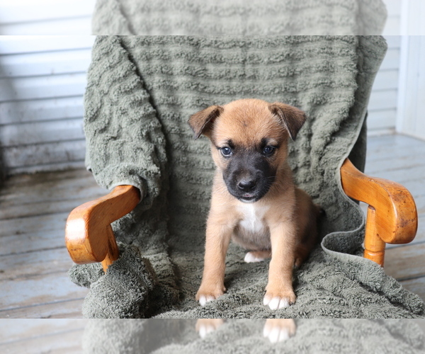 View Ad: Boxer-Norwegian Elkhound Mix Puppy for Sale near France