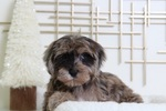 Yorkie-Poo Puppy For Sale in BEL AIR, MD, USA