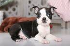George Male Boston Terrier