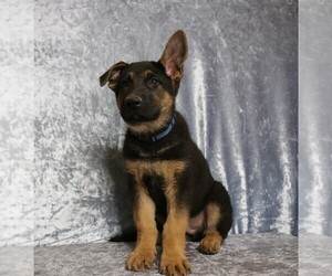 German Shepherd Dog Puppy for Sale in PAW PAW, Michigan USA