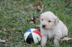 Golden Retriever Puppy For Sale in SAVOY, IL