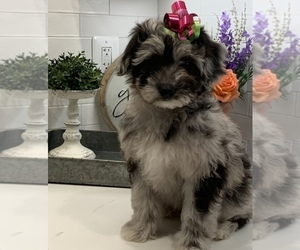 Pomeranian-Poodle (Toy) Mix Puppy for sale in BALTIMORE, MD, USA
