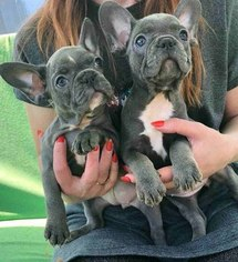 French Bulldog Puppy for sale in Penza, Penza, Russia