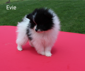 Pomeranian Puppy for sale in RAGERSVILLE, OH, USA