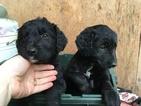 Border Collie-Golden Retriever Mix Puppy For Sale in AMBOY, WA, USA