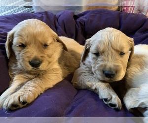 Golden Retriever Puppy for sale in HARRISBURG, IL, USA