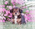 Small #3 Bernese Mountain Dog-Poodle (Toy) Mix